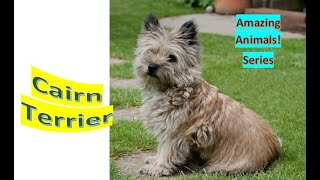 Cairn Terrier | Amazing Animals | Pet Dogs