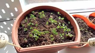 Моя рассада. Базилик и календула пацифик. my seedlings. Basil. Calendula