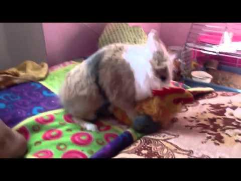 Кролик шпилит