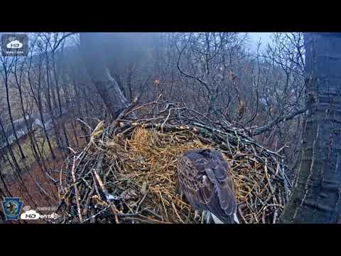 Bald eagles switch brooding duty in nest at Codorus State Park near Hanover