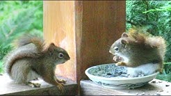 Red Squirrels Fight For Breakfast