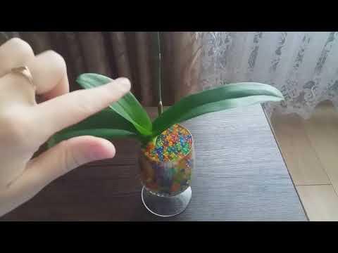 Реанимация орхидеи. Наращиваем корни