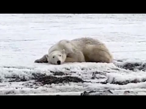 Lance Houston - Rescue Efforts Underway to Help Polar Bear After Drifting 400 Miles