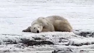 Polar Bear Swims Ashore After Drifting 400 Miles