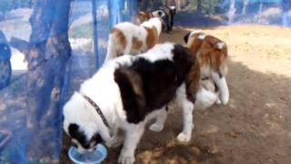 St. Bernard are playing by the dog run. セントバーナードのヨーゼフ...