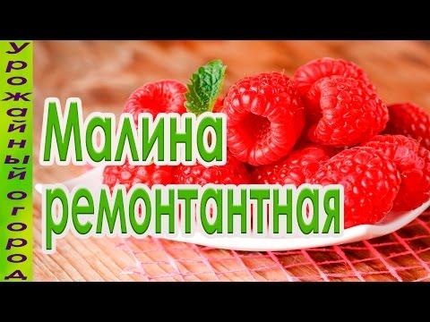ЛУЧШИЙ СОРТ РЕМОНТАНТНОЙ МАЛИНЫ!!!УРОЖАЙ С СЕРЕДИНЫ ЛЕТА!!! | ремонтантная | недосягаемая | выращивание | урожайный | рассада | малиной | урожай | огород | малины | малина