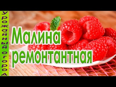 ЛУЧШИЙ СОРТ РЕМОНТАНТНОЙ МАЛИНЫ!!!УРОЖАЙ С СЕРЕДИНЫ ЛЕТА!!!