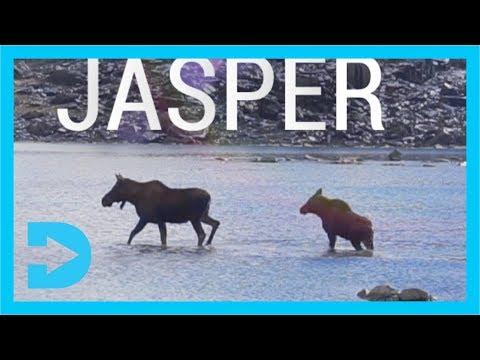 MOOSE in Jasper National Park - ALBERTA CANADA