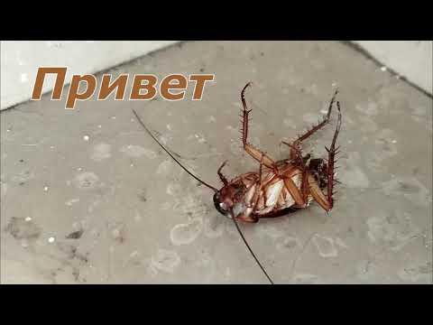 Усатый таракан, танец