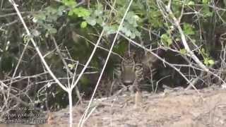 Leopard Resting On A Tree Branch & A Peeping Lepoard