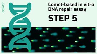 STEP 5: Comet formation // Comet-based in vitro DNA repair assay