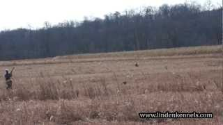 Training Session With A Springer Spaniel Flushing Birds.