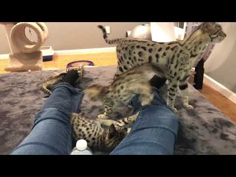 F3 Savannah Kittens were NOT ready for bed when I was!! :)