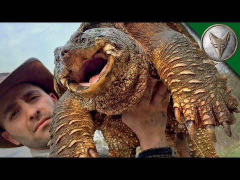 Thumbnail: World's Most Famous Snapping Turtle - Dragon Tails Episode 1