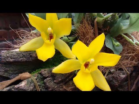 Орхидея Променея в моей коллекции 😀