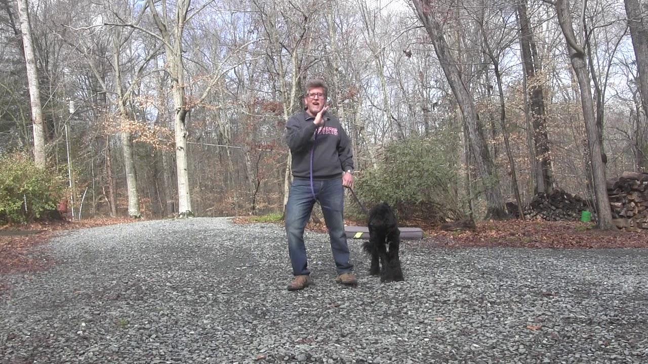 Labradoodle Puppy Training Winston-Salem NC | Noodle
