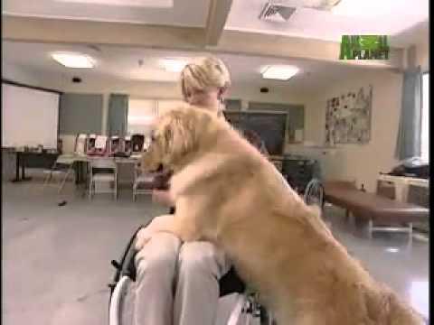 Dog Breeds 101 Video: Golden Retriever
