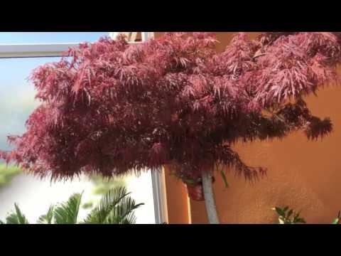 Японский клён. Уход. Acer Palmatum. Озеленение террасы