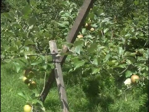 Propping Fruit Tree Limbs Youtube