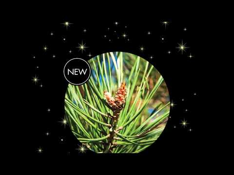 NEW - Ponderosa Pine Cone Essential Oil -  Living Libations