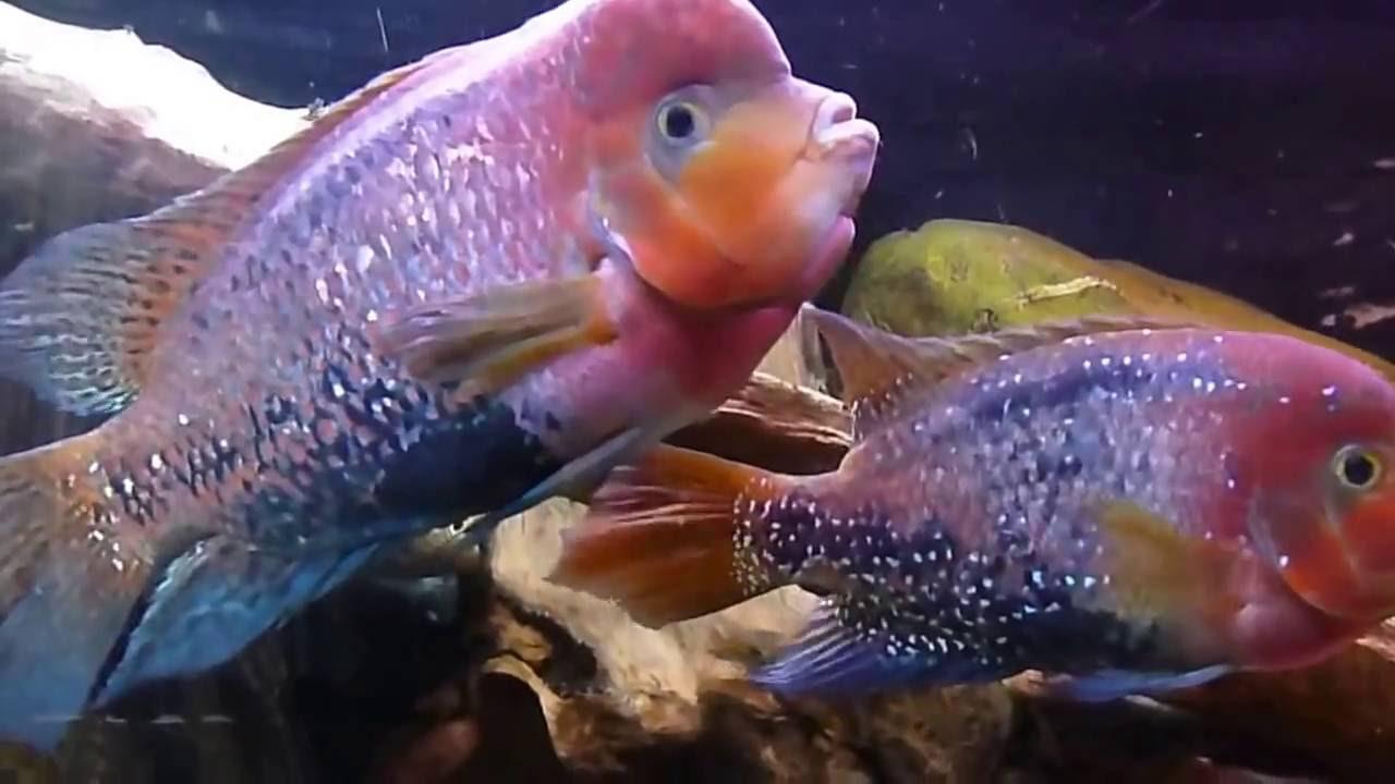 16 янв 2014. Красный попугай были выведены селекционным путем в тайване в конце xx века. Они были получены путем скрещивания трех видов рыб данного семейства цихлазомы.