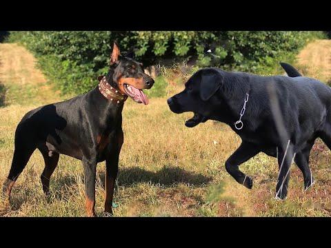 Doberman vs Labrador Dog Breed Comparison | Dog Lovers