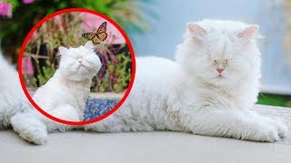 The Persian cat who lost her vision after suffering neglect while living at a pet store