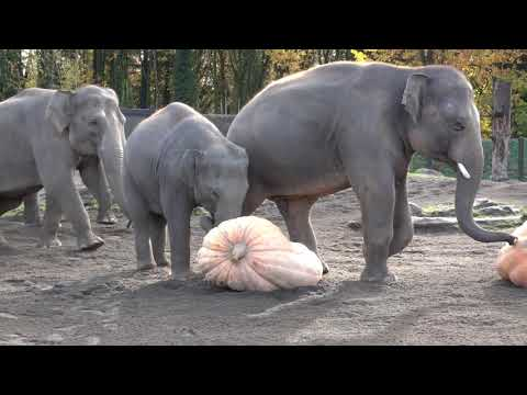 Dusty - Elephants crushing pumpkins!