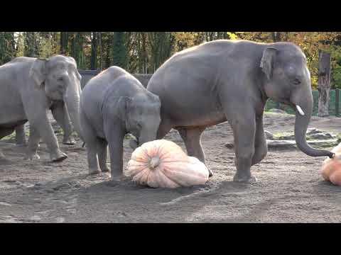 Jim E. Chonga - Oregon Zoo Elephants Enjoy Smashing Pumpkins (real pumpkins, not the band)!