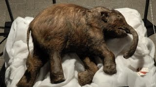 42000 YEARS OLD WOOLLY MAMMOTH FOUND