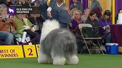 Old English Sheepdogs   Breed Judging 2019
