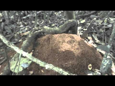Leaf Cutter Ant Dumps