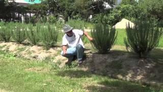 1年前に立性のローズマリーを植え付けました。 生垣風にしようと育てて...