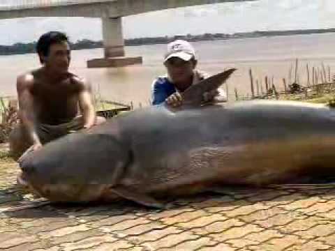 Giant Catfish of Mekong River weighs over 600LBS