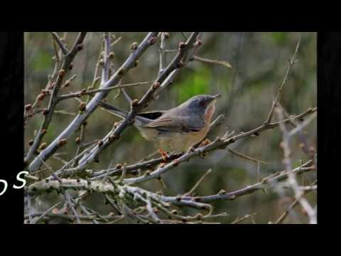 Subalpine Warbler - 2013-04 - tewbirds @ Gibraltar Point