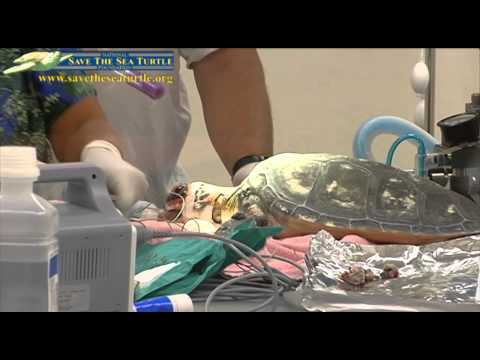 Earth Day Surgeries Remove Tumors On Endangered Sea Turtles