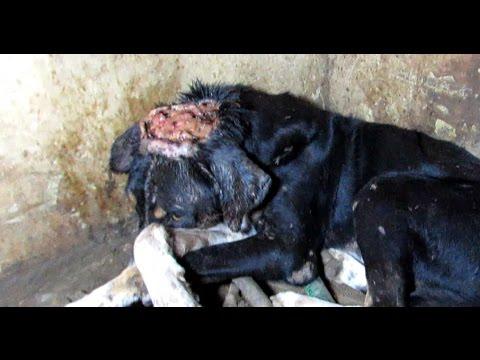 DOG'S HEAD SPLIT EAR TO EAR IN INDIA - AMAZING RESCUE