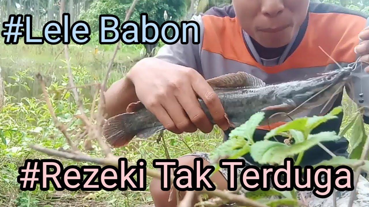 Mancing Pakai Umpan Daging Sapi Di Makan Lele Babon Guys Ll Joss Gandoss Sek Penting Yakin Youtube