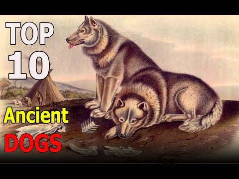 Top 10 Ancient Dog Breeds | Top 10 animals
