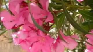 Amazing Rose Gardening Tips