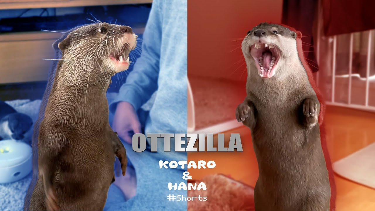 最強対決!カワウソのゴジラ顔選手権 Otter Godzilla #Shorts