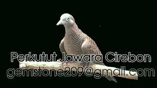 Perkutut Jawara Cirebon