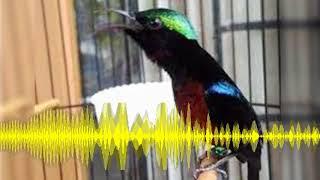 Gambar cover Suara Burung Kolibri Ninja Gacor Ocehan Si Master Kicau