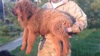 Тибетский мастиф продажа щенков в питомнике из Москвы