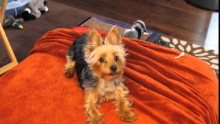 Yorkshire Terrier, Tiny Barking Yorkshire Terrier Puppy, Chanel Bridget