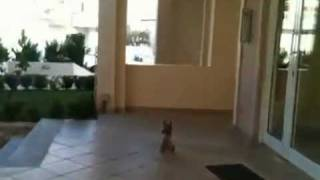 Yorkshire Terrier Klaire Barking And Jumping