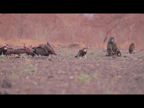فيديو: نشطاء ينددون بتهديد العامل البشري لمحمية الدندر الطبيعية في السودان…  - 14:58-2021 / 4 / 19