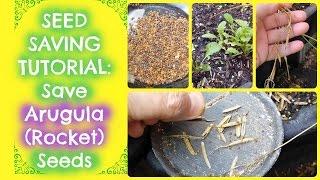 Seed Saving - How To Save Arugula Seeds (Rocket Seeds) | Free Arugula for Life!