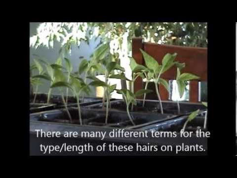 Leggy Seedlings-Causes And Solutions ( From A Long-Winded Vlogger)