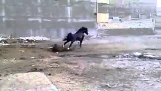 Лошадь арабская